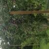pruimenboom heeft het zwaar